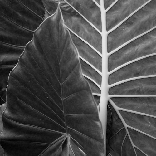 The Big Leaf