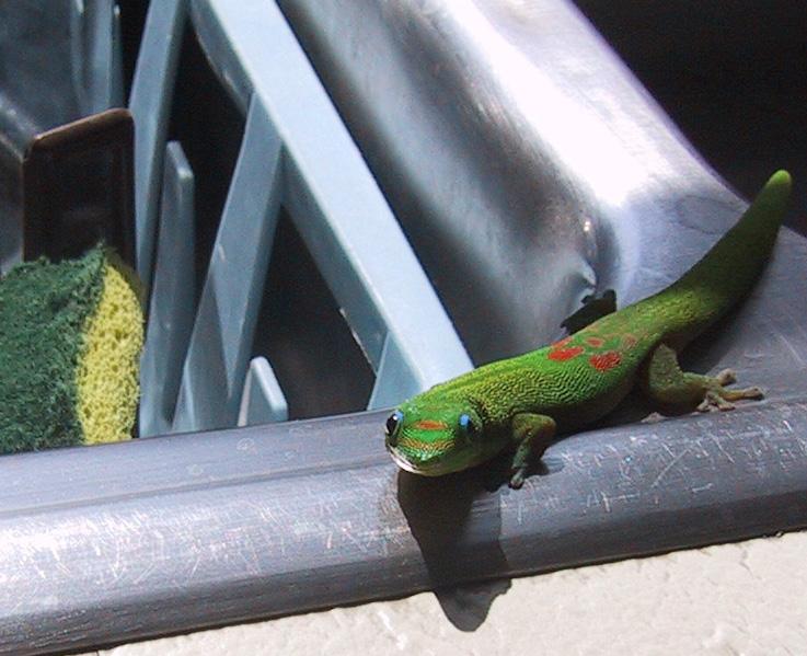 kitchen gecko