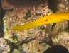 Yellow Phase Trumpet Fish
