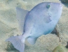 Unknown blue triggerfish