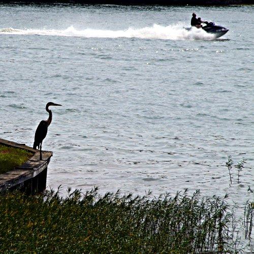 heron - lake anna