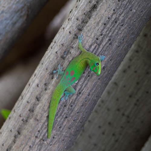 Gecko - L1